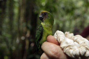 Buff Faced Pygmy Parrot (image from The Guardian)