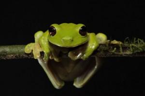 "Litoria Sauroni ""Extra Cute Froggy"""