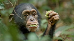 Celebrate Earth Day with Chimpanzee!