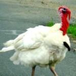 What's In Factory Farmed Turkey?