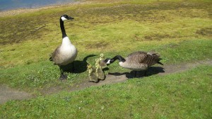 Family-Of-Geese