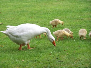 duck-family-grass