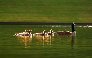 geese-family-swimming