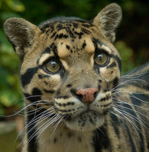 Clouded Leopard. Photo by: Craig Lindsay
