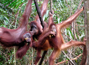 Orangutans. Photo by: Rainforest Action Network