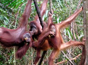 Orangutans. Photo by: Rainforest Action Network