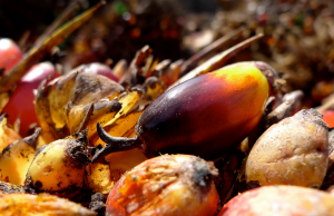 Palm Fruit. Photo By: Swamibu