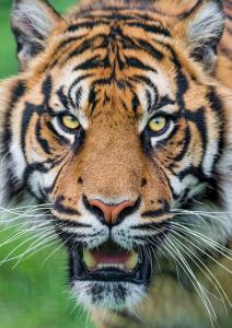 Sumatran Tiger. Photo by: Tambako The Jaguar