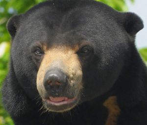 Sun Bear. Photo By: ucumari