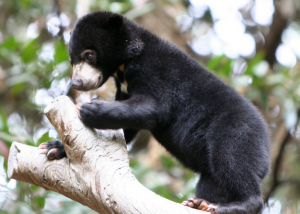 Baby Sun Bear. Photo by: ZakVTA