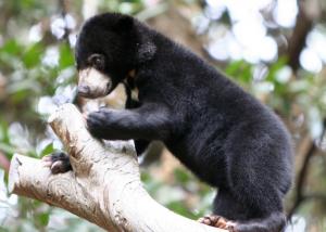 Baby Sun Bear. Photo by: ZakVTA