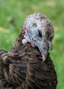 A turkey rescued from Staten Island, now living at CAS.