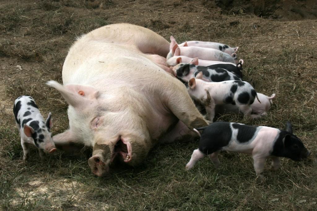 piglets-farm-wean-630-o