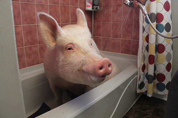Esther The Wonder Pig Changing The World One Heart At A Time Chic