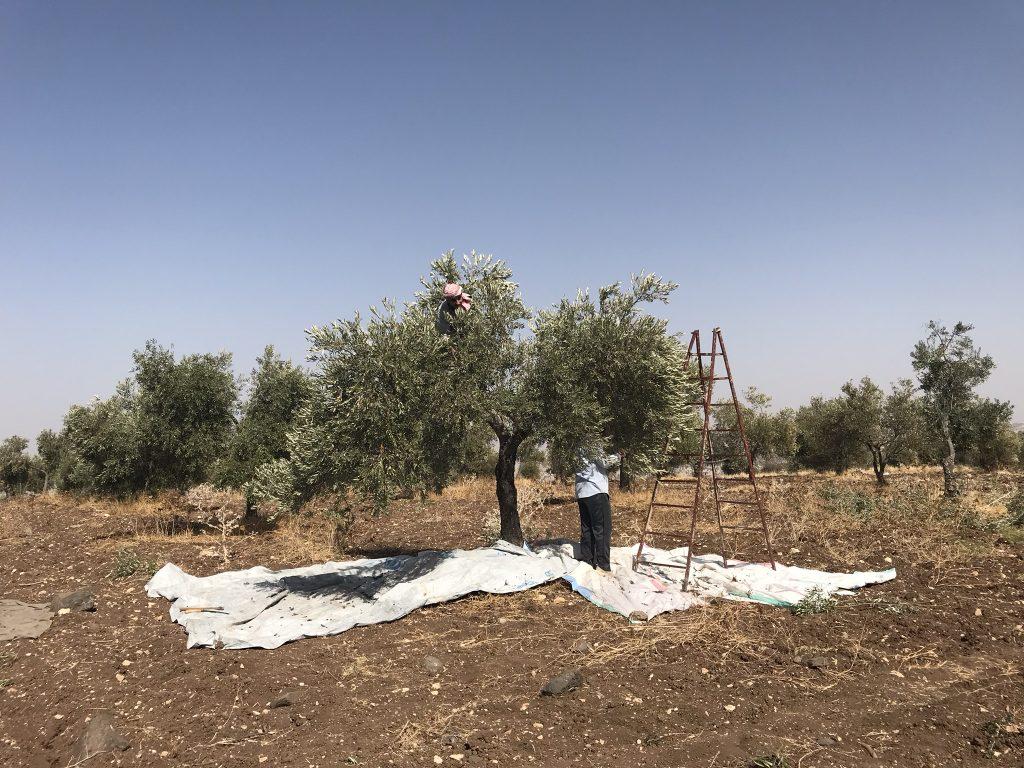 Jordan olives Umm Qais